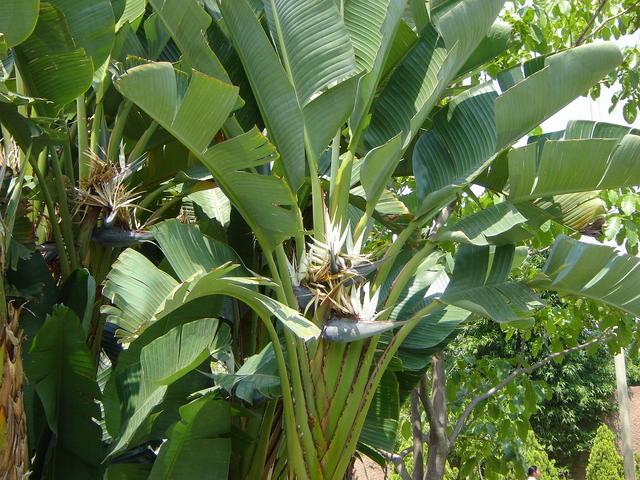 A beautiful banana-like plant