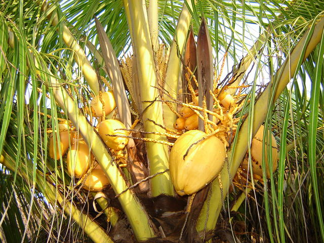 Coconuts by the beach!