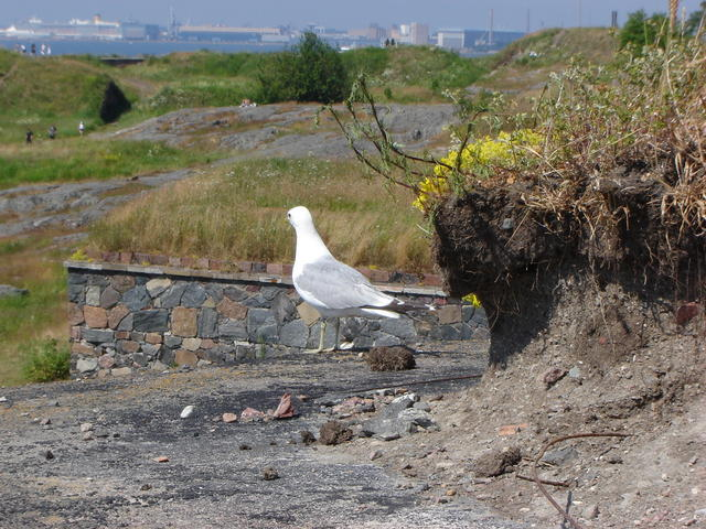 A seagull in Suomenlinna, contemplative
