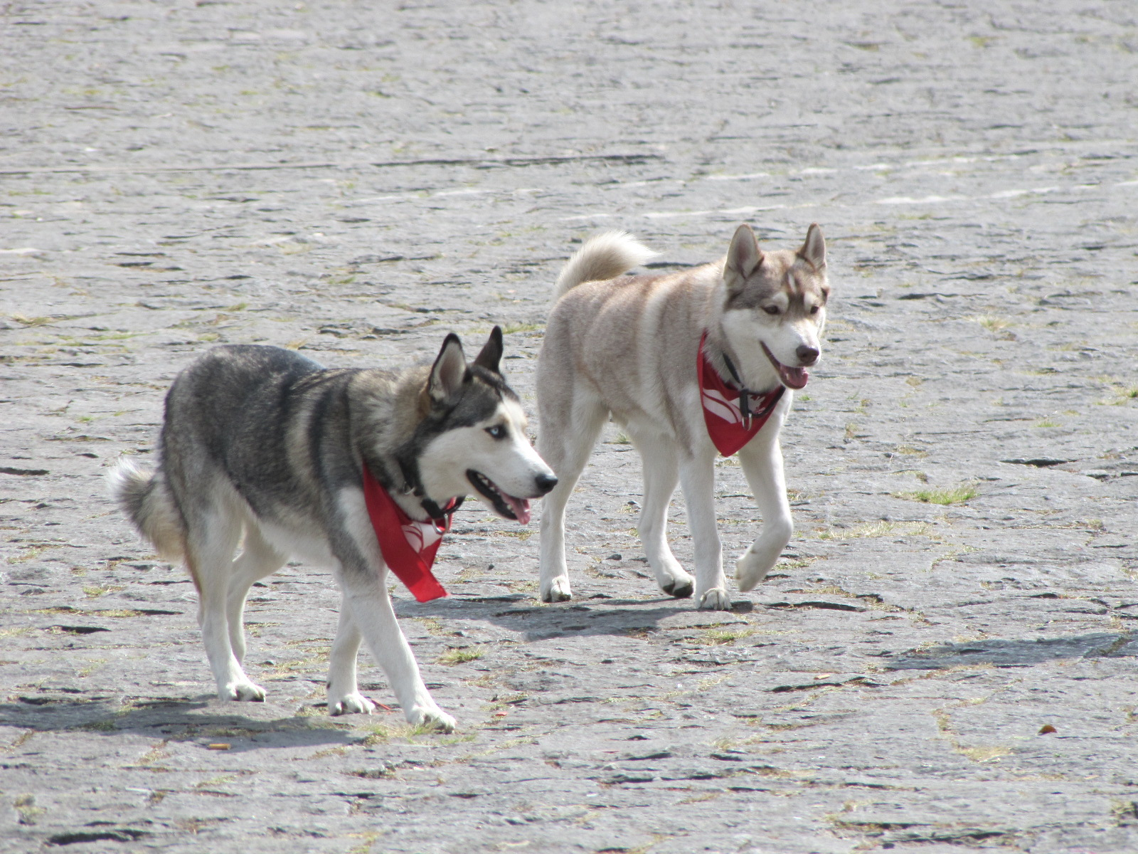 Siberian dogs strolling in Ciudad Universitaria