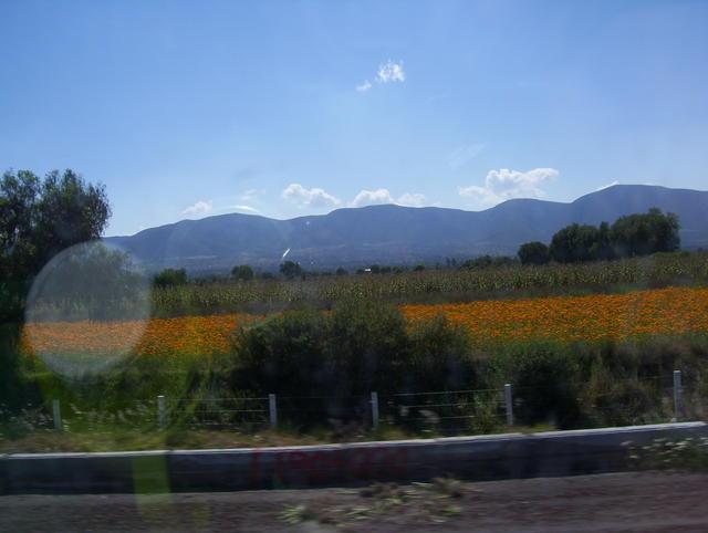 Cempansúchitl fields