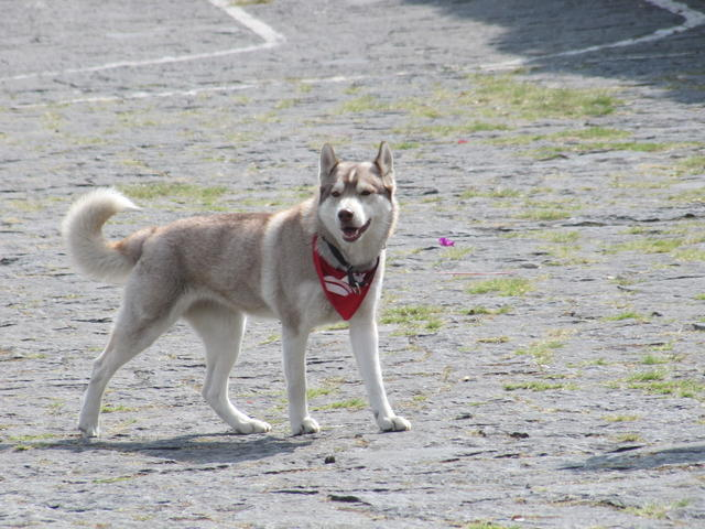 Siberian dog strolling in Ciudad Universitaria