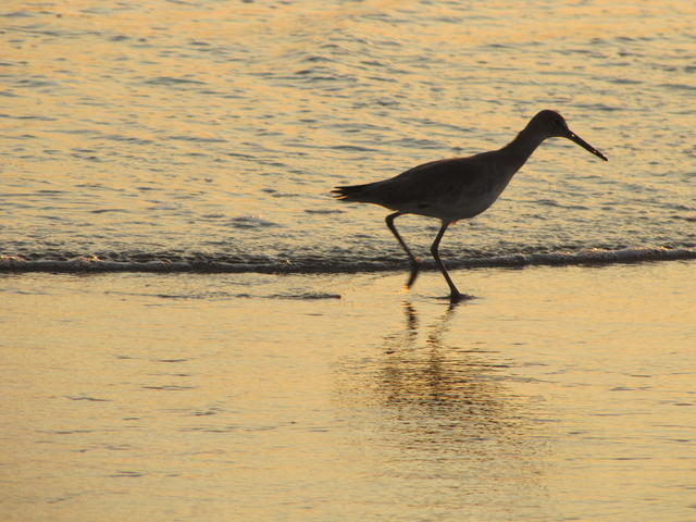 Bird scouting the sand for dinner