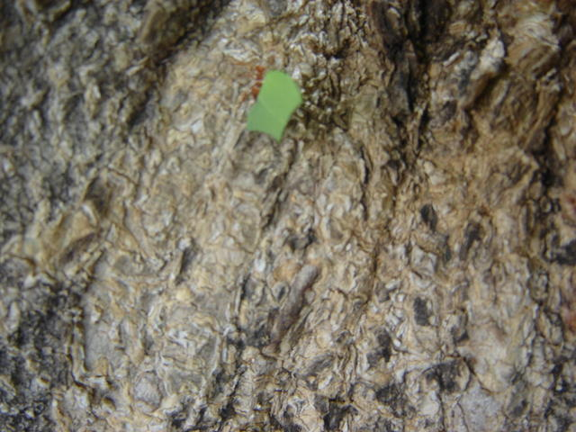 Nicaraguan ants