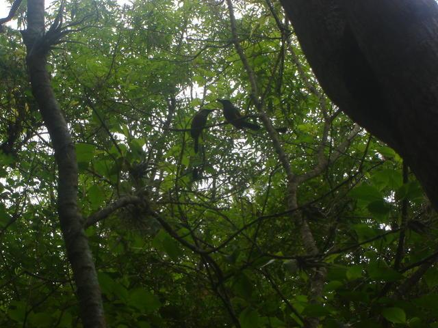 Guardabarranco — Nicaraguan and Salvadorean national bird